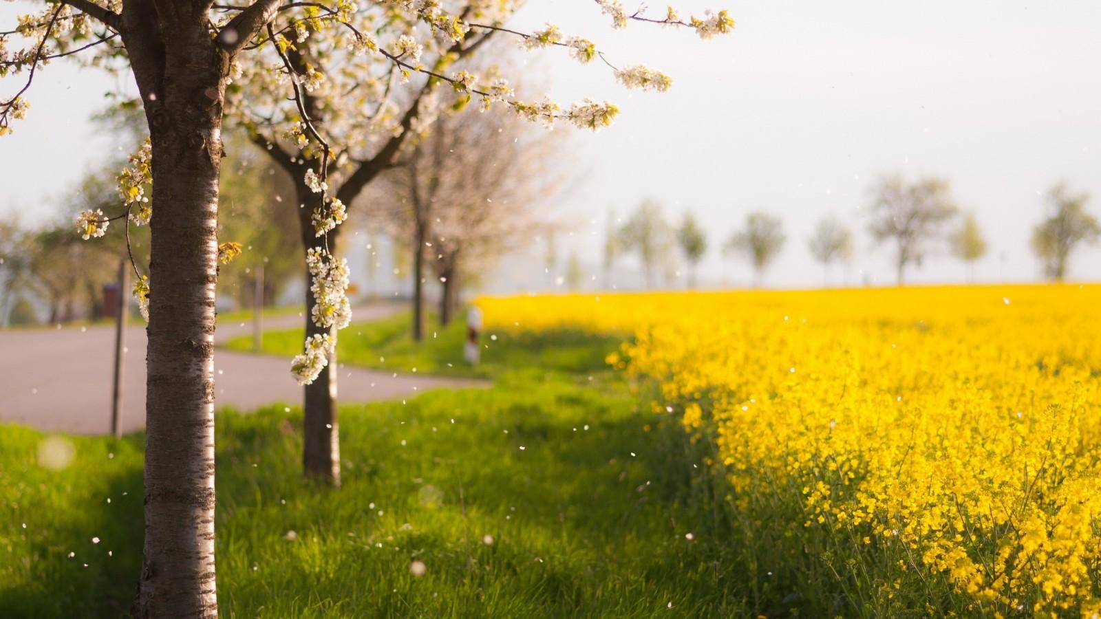 Дерево поле рапс обои 1600х900 картинки