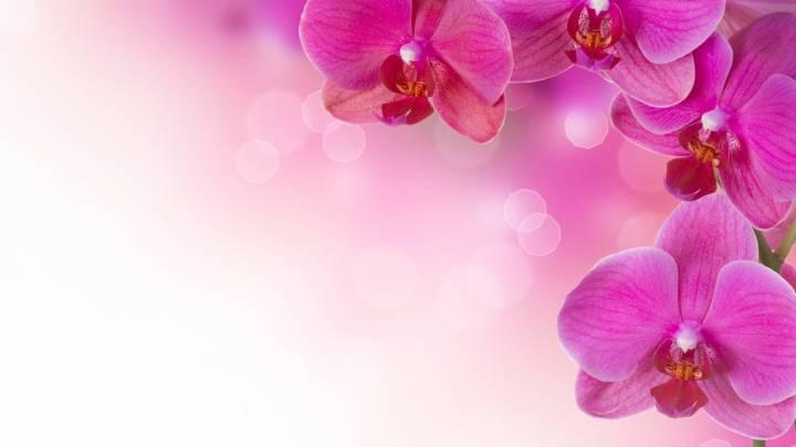 Розовые орхидеи цветы растения обои